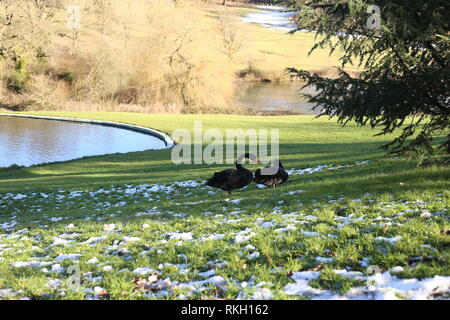 A pair of Black Swans ( Cygnus atratus) resting near a lake in the English countryside. Winter 2019. - Stock Photo