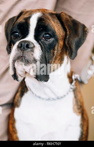 Boxer Dog Sitting near Owner. The Boxer is a breed of medium-sized, short-haired dogs developed in Germany. - Stock Photo