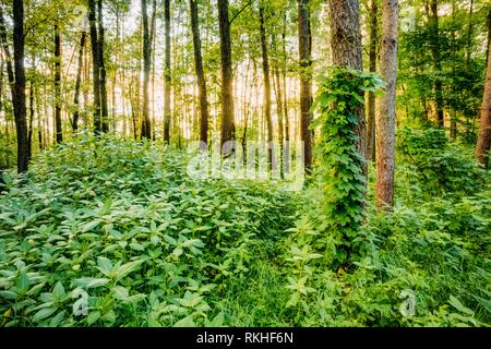 Dense Mixed Forest, View In Summer. - Stock Photo