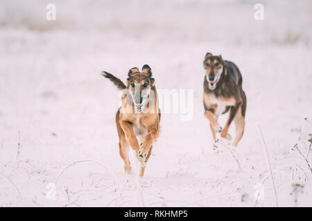 Two Hunting Sighthound Hortaya Borzaya Dogs During Hare-hunting At Winter Day In Snowy Field. - Stock Photo