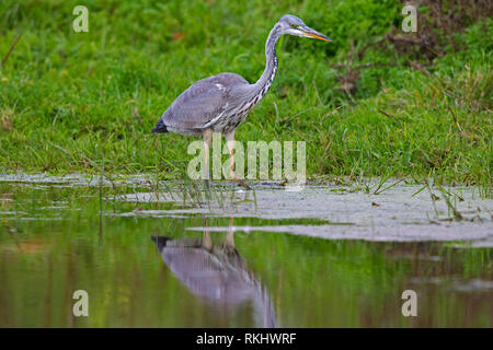 Grey heron (Ardea cinerea) foraging in shallow water of lake - Stock Photo