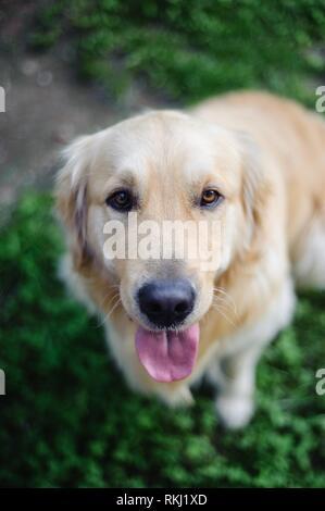 portrait of purebred Golden retriever dog in garden while looking upwards. - Stock Photo