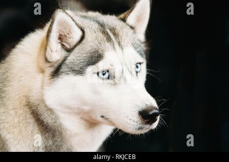 White And Gray Adult Siberian Husky Dog Or Sibirsky Husky With Blue Eyes Close Up Portrait On Dark Black Background. - Stock Photo