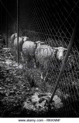 Sheep eating on the farm, Spain - Stock Photo