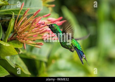 Honduran Emerald (Amazilia luciae). Coxen Hole. Roatan. Honduras. - Stock Photo