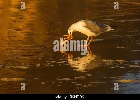 Pacific gull killing and eating a crab, Hug Point State Scenic Area, Oregon, USA. - Stock Photo
