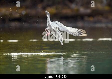 Herring gull (Larus argentatus)- Dive hunting on the Chilko River, Chilcotin Wilderness, BC Interior, Canada. - Stock Photo