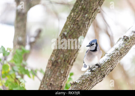 Closeup front of one blue jay Cyanocitta cristata bird perched on tree branch during autumn spring green leaves snow in Virginia - Stock Photo
