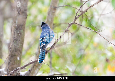 Closeup back of one blue jay Cyanocitta cristata bird perched on tree branch during autumn spring green leaves snow in Virginia - Stock Photo