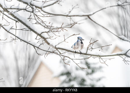 Closeup of one blue jay, Cyanocitta cristata, bird sitting perched far on oak tree branch during winter covered in snow in Virginia - Stock Photo