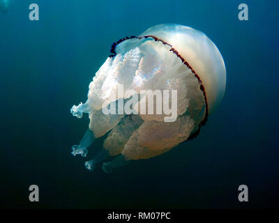 barrel jellyfish or dustbin-lid jellyfish or frilly-mouthed rhizostoma pulmo true jellyfish class scyphozoa is gently carried away by the sea current - Stock Photo