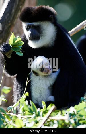 Black and white colobus monkey feeding on leaves and holding white baby, 1 month old {Colobus guereza}, captive, ZooParc Beauval, France. - Stock Photo