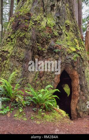 A Cal Barrel Road hallow giant redwood reveals a secret on its back side in Prarie Creek Redwoods State Park, California, USA. - Stock Photo