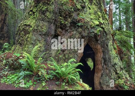 A Cal Barrel Road moss covered giant redwood tree with a hallow center gives a glimpse of a small tree on the opposite side in Prarie Creek Redwoods - Stock Photo