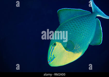 Redtooth Triggerfish, Odonus niger, Barracuda Rock dive site, Fiabacet Island, Misool, Raja Ampat (4 Kings), West Papua, Indonesia, Indian Ocean, Indi - Stock Photo
