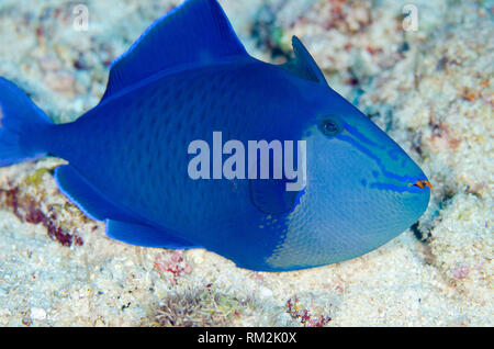 Redtooth Triggerfish, Odonus niger, Boo Rocks dive site, Boo Island, Misool, Raja Ampat (4 Kings), West Papua, Indonesia, Indian Ocean - Stock Photo