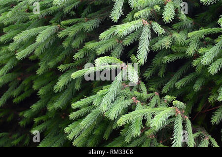 Fluffy green fir tree brunch close up. Christmas wallpaper concept with copy space. Selective focus - Stock Photo