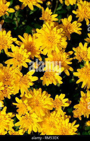 Yellow dahlia, close-up, background picture - Stock Photo
