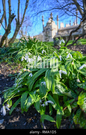 Brighton UK 14th February 2019 - Snowdrops in bloom by the Royal Pavilion in Brighton mild warm weather is forecast to spread across Britain with temperatures expected to reach the mid teens centigrade in some areas Credit: Simon Dack/Alamy Live News - Stock Photo