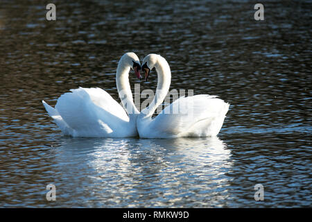 A pair of loving mute swans pictured on St Valentines day. A day for love. - Stock Photo