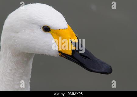 A close up shot of a Bewick's Swan (Cygnus bewickii) head, showing the distinctive yellow bill pattern. - Stock Photo