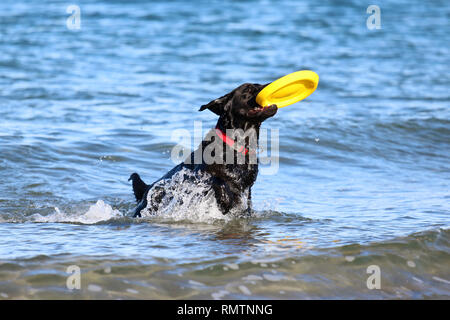 A black labrador retriever dog playing with a frisbee in the ocean - Stock Photo