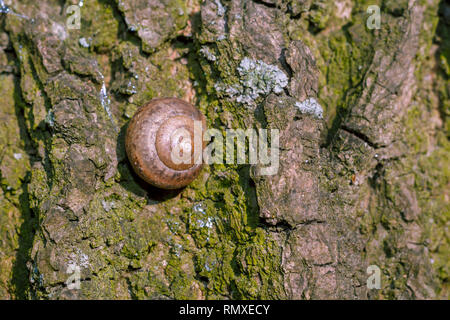 Photo of a natural still life shell of a snail close-up stuck on the bark of a tree in the forest - Stock Photo