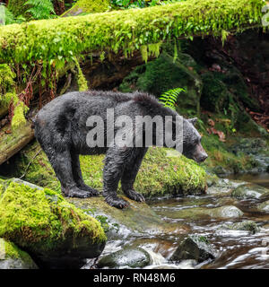 Black Bear fishing in Thornton Creek, Vancouver Island, British Columbia, Canada. - Stock Photo