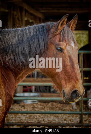 Portrait of a bay horse with blurred barn interior in background. - Stock Photo