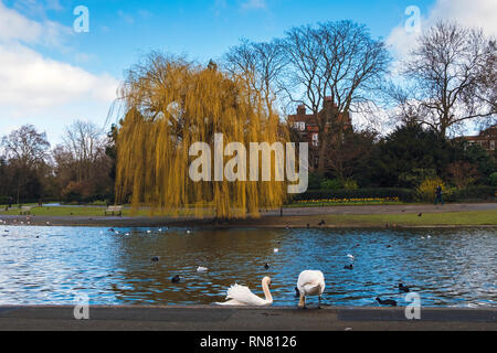 Two beautiful swans on the lake in Regent's park on a sunny day in spring. Willow tree on the shore and bright blue sky. - Stock Photo