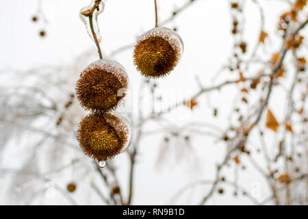 Icy chestnut shells close up, with water dripping from them, hanging from their branches, during Winter, in a city park. - Stock Photo