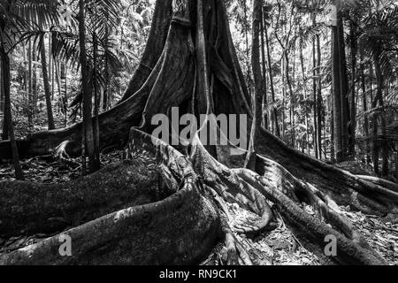 Huge fig tree roots in a rainforest - black and white image - Stock Photo
