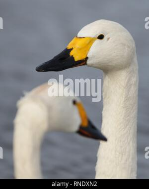 Pair of Bewick's Swan (Cygnus columbianus bewickii) portrait on lake. February 2019, Gloucestershire, UK - Stock Photo