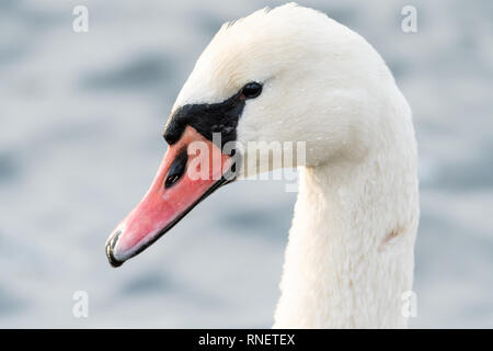 Portrait of a male white swan (Cygnus olor) on the danube in Vienna - Stock Photo