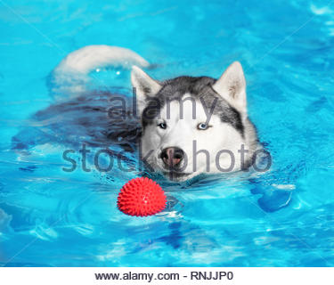 A mature Siberian husky male dog is swimming in a pool. He is looking on small red ball and going to catch it. He has blue eyes. - Stock Photo