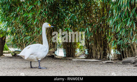 portrait of a bewick's swan, beautiful white water bird from Eurasia - Stock Photo