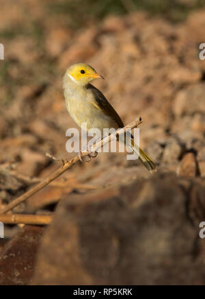 White-plumed Honeyeater, Lichenostomus penicillatus, near Mount Isa in Western Queensland - Stock Photo