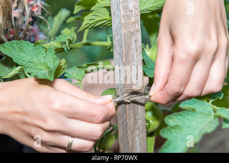 Closeup of green unripe tomatoes hanging growing on plant vine with woman tying string macro with hands in garden by soil, wooden stick pole - Stock Photo