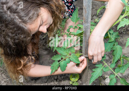 Green unripe tomatoes hanging growing on plant vine with young woman girl tying string macro with hands in garden by soil, wooden stick pole - Stock Photo