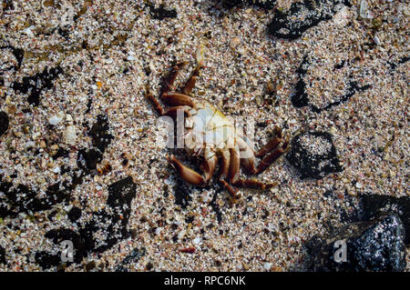 A crab in an inland pool on the northwest coast of Fuerteventura, Canary Islands - Stock Photo