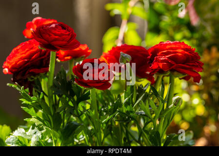 Red ranunculus flowers with bud and green plant stems - Stock Photo