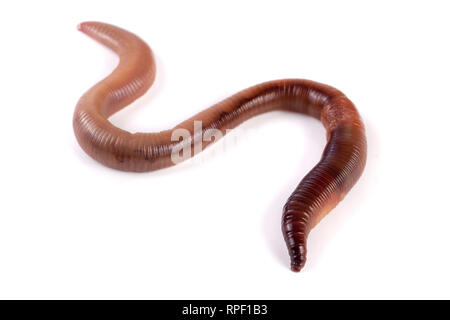 one earthworms isolated on white background - Stock Photo