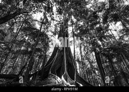 Giant fig tree roots in a rainforest - black and white image - Stock Photo