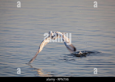 zoology / animals, avian / bird, White-headed Gull, (Chroicocephalus ridibundus), with rest of her juv, Additional-Rights-Clearance-Info-Not-Available - Stock Photo