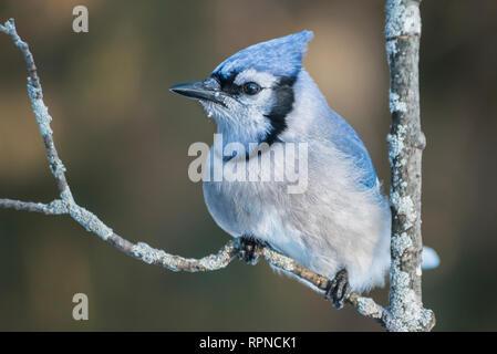 zoology / animals, avian / bird (aves), Blue Jay (Cyanocitta cristata) in winter near Thornton, Ontari, Additional-Rights-Clearance-Info-Not-Available - Stock Photo