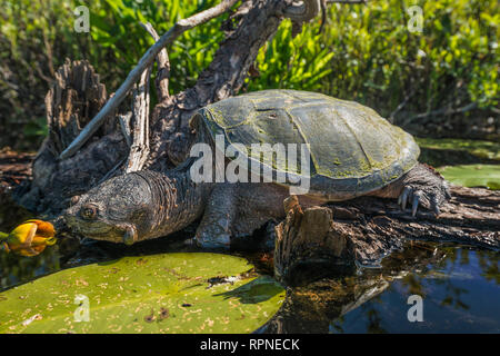 zoology / animals, reptile (reptilia), Common Snapping Turtle (Chelydra serpentina) basking on a log i, Additional-Rights-Clearance-Info-Not-Available - Stock Photo
