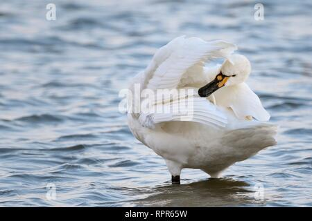Bewick's swan (Cygnus columbianus bewickii) preening as it stands in a freshwater lake, Gloucestershire, UK, February. - Stock Photo