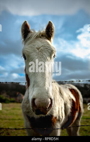 Curious white and ginger horse looking over the barbed wire fence - Stock Photo