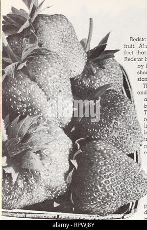. Allen's 1964 book of berries. Nurseries (Horticulture) Maryland Salisbury Catalogs; Nursery stock Maryland Salisbury Catalogs; Strawberries Maryland Salisbury Catalogs. REDSTAR Redstar extends the season for fancy fruit. Almost equally important is the fact that you are sure to get a crop. Redstar blooms so late it is never killed by late frost. These two attributes should be the basis of your deci- sion to grow Redstar. The first berries are large and wedge shaped. Later berries are mostly round-conic. Redstar berries are very fine in quality. They have an attractive bright red color which  - Stock Photo