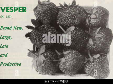 . Allen's 1964 book of berries. Nurseries (Horticulture) Maryland Salisbury Catalogs; Nursery stock Maryland Salisbury Catalogs; Strawberries Maryland Salisbury Catalogs. VESPER (NJ 157). Vesper is a selection of the New Jersey Agricultural Experiment Station and is a cross of Utah Shipper and Jerseybelle. It ripens very late, somewhat later than Jerseybelle but before Redstar. Reports from where it has been grown indicate that it has been the most productive of all the selections or varieties during the time it has been in replicated plots. It has a longer harvest season than Jerseybelle and  - Stock Photo
